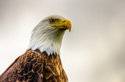 4th July Photo Posters - Great American Bald Eagle Homer Alaska Poster by Natasha Bishop