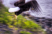 4th July Prints - Great American Bald Eagle in Flight Homer Alaska Print by Natasha Bishop