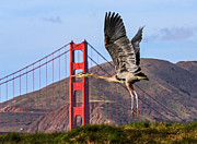 Kate Brown Framed Prints - Great Blue at the Golden Gate Framed Print by Kate Brown