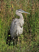Kim Doran - Great Blue Heron 1