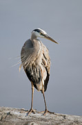Grey Heron Posters - Great Blue Heron 2 Poster by Sharon  Talson