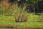 Aquatic Bird Posters - Great Blue Heron Poster by Al Powell Photography USA
