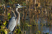 Evening Posters - Great Blue Heron Alarmed Poster by Ellie Teramoto