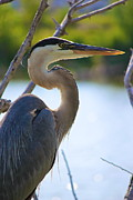 Amazing Jules Art - Great Blue Heron by Amazing Jules