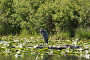 Linda Albonico - Great Blue Heron Amongst...