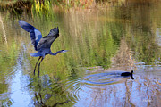 Diana Haronis - Great Blue Heron and Coot