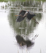 Wading Bird Posters - Great Blue Heron  Poster by Angie Vogel
