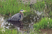 Reflection In Water Prints - Great Blue Heron at DeBoville Slough Print by Sharon  Talson