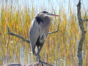 Terry Cobb - Great Blue Heron at Rest