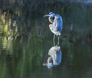 Tam Ryan - Great Blue Heron at Sunrise