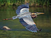 500mm Prints - Great Blue Heron at the South Platte River Print by Stephen  Johnson