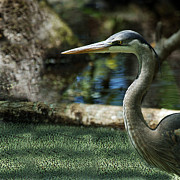 Bill LITTELL - Great Blue Heron