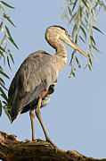 Animal Pics Prints - Great Blue Heron Bird Photography Print by Juergen Roth