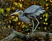 Bruce Colin - Great Blue Heron