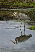 Carrie Cranwill - Great Blue Heron