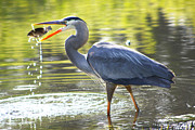 Diana Haronis Posters - Great Blue Heron Catching Fish Poster by Diana Haronis