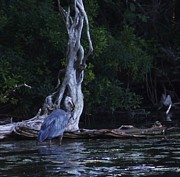 Herons Drawings Prints - Great Blue Heron Catching His Dinner Print by Rosemarie E Seppala