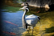 Hawaiian Pond Prints - Great Blue Heron Print by Cheryl Young