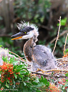 Florida Nature Photography Originals - Great Blue Heron chick by Barbara Bowen