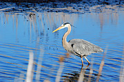 Finger Lakes Digital Art Posters - Great Blue Heron Poster by Crystal Wightman