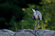 Daniel Forget - Great Blue Heron