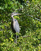 David Hintz - Great Blue Heron