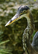 Whittle Prints - Great Blue Heron Print by Dee Dee  Whittle