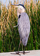 Ardea Herodias Framed Prints - Great Blue Heron Framed Print by Edward Fielding