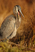Chevalier Posters - Great Blue Heron Poster by Elizabeth Chevalier