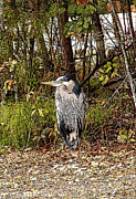 Ella Char - 	Great Blue Heron