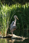 Heron Framed Prints - Great Blue Heron Framed Print by Ellen Henneke