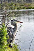 Farol Tomson - Great Blue Heron