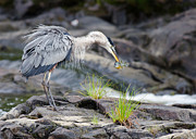Daniel Forget - Great Blue Heron fishing