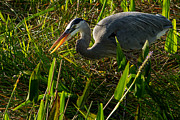 Natural Focal Point Photography - Great Blue Heron Fishing...