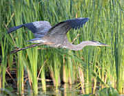 John Dart - Great Blue Heron Flight