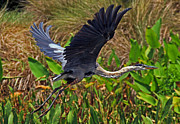 Larry Nieland - Great Blue Heron Flight