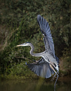 Saija  Lehtonen - Great Blue Heron Flight
