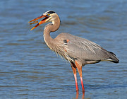 Dave Mills - Great Blue Heron...