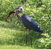 Christina Shaskus - Great Blue Heron Grabs A...