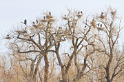 Wildlife Art Acrylic Prints Prints - Great Blue Heron Hangout Print by James Bo Insogna