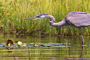 Marsh Bird Prints - Great Blue Heron Hunting Print by Stephanie McDowell