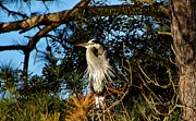 Great Blue Heron In A Tree - # 23 Print by Paulette  Thomas