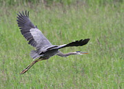 Wading Bird Posters - Great Blue Heron in Flight Poster by Angie Vogel