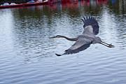Diana Haronis - Great Blue Heron in Flight