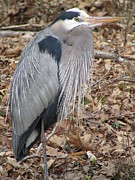 Forest Floor Photos - Great Blue Heron in Forest by J C