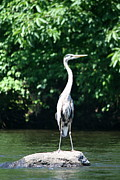Herons Photos - Great Blue Heron in July on the Quinnebaug  by Neal  Eslinger