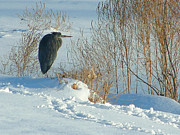 Sandra LaFaut - Great Blue Heron in Snow