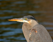 Bob and Jan Shriner - Great Blue Heron-In the...