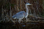 Great Blue Heron In The Marsh - #1 Print by Paulette  Thomas