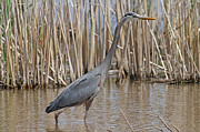 Jim Nelson Posters - Great Blue Heron Poster by Jim Nelson